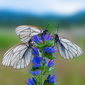 Three white and black striped butterflies on blue flower Royalty Free Stock Photo
