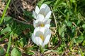 Three white crocuses in a row one after another Royalty Free Stock Photo