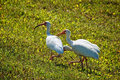 Three white egret herons in various poses while fe Stock Photography