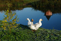 Three white geese on the river Stock Photo