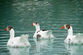 Three white geese in the water with gray feathers swim blue lake and gray goose waterfowl birds city park Royalty Free Stock Images
