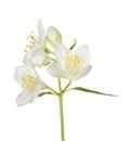 Three White Jasmine Flowers On...