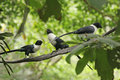 Three White Necked Mynas Royalty Free Stock Photos