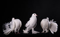 Three white pigeons on black background Royalty Free Stock Images