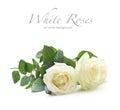 Three white roses Royalty Free Stock Photo