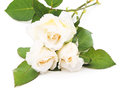 Three white roses on a background Royalty Free Stock Photo