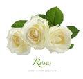 Three white roses isolated on white Royalty Free Stock Photo