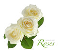 Three white roses on white Royalty Free Stock Photo