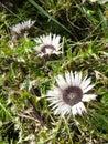 Three white sunflowers. Royalty Free Stock Photo