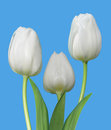 Three White Tulips Royalty Free Stock Image