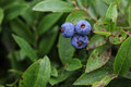 Three wild blueberry from maine Stock Photography