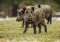 Three wild boars walking boar sounder grazing in a clearing Stock Photos