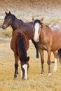Three Wild Horses Royalty Free Stock Photo