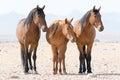 Three wild horses namibia Royalty Free Stock Photo