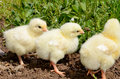 Three yellow chickens Royalty Free Stock Photo