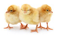 Three yellow chickens. Royalty Free Stock Photo