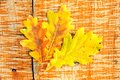 Three yellow leaves oak autumn still life of colorful Royalty Free Stock Images