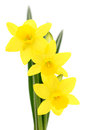 Three yellow narcissus. Royalty Free Stock Photo