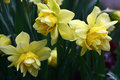 Three yellow narcissuses in a flower bed of a spring garden with a bud of a difficult structure blossom Stock Images