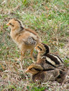 Three Young Baby Chicks Royalty Free Stock Images