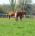 Three young belgian horses graze on the fresh spring grass in the pasture Royalty Free Stock Photography