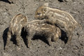 Three young boars playing piglets sus scrofa in the mud with each other in the sun Royalty Free Stock Image