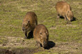 Three young capybaras Stock Image