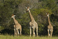 Three young giraffe family of standing next to a thick bush area Stock Photography