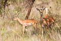 Three young Impalas grazing Stock Photography