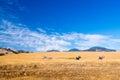 Three zebra in the california sunshine graze golden grasses Stock Images