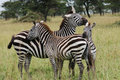 Three zebras cuddling Royalty Free Stock Image
