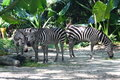 Three Zebras Eating Royalty Free Stock Photos