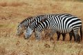 Three zebras grazing in the serengeti Royalty Free Stock Photos