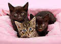 Threee kittens in a pink and white basket Royalty Free Stock Photo