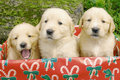 Threes golden retriever Stock Photo