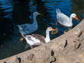 Threesome of geese Royalty Free Stock Photo