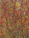 Thrickets ripened rowan bushes of an autumn ash with red berries on a background of yellow leaves Stock Photography