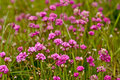 Thrift armeria maritima close up flowering Royalty Free Stock Photography