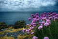 Thrift on a clifftop wild flowers overlooking the sea Stock Photos