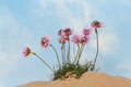 Thrift or sea pink flowers growing in sand against a blue sky with wispy white clouds Stock Photo