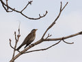 Thrush on branch sitting early spring Royalty Free Stock Photo