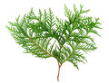 Thuja Royalty Free Stock Photo
