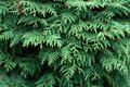 Thuja background close up see my other works in portfolio Royalty Free Stock Photo
