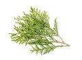 Thuja branch isolated