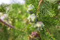 Thuja branches with fruits