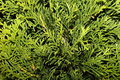 Thuja occidentalis Stock Photos