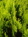 Thuja occidentalis leaves close up of in the sunlight Royalty Free Stock Image