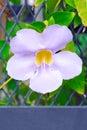 Thumbergia laurifolia flower blue trumpet vine thunbergia grandiflora bengal clockvine bengal trumpet blue skyflower blue Stock Images