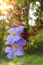 Thumbergia laurifolia flower blue trumpet vine thunbergia grandiflora bengal clockvine bengal trumpet blue skyflower blue Stock Image