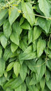 Thumbergia laurifolia leaves blue trumpet vine Royalty Free Stock Photos